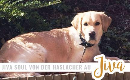 Jiva Shiva Soul S Golden Retriever Zwergpudel Zucht In Oberaich Steiermark Orc Okv Fci